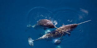 narwhals Swimming in the ocean