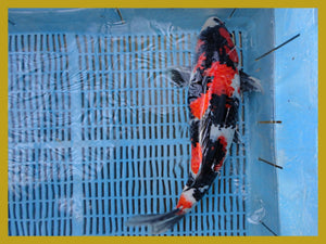 Image of a tri colored koi fish consisting of red, black, and white with gold borders around the photograph.