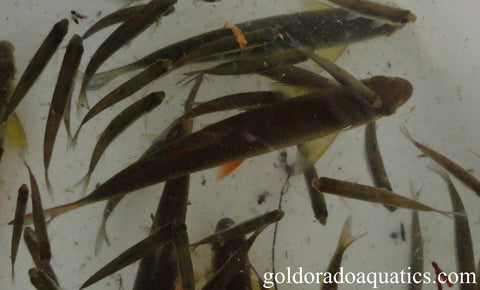 Image of multiple golden shiners minnows of different sizes with a bronze brown coloration on a streamline torpedo shaped body adapted for quick movements.