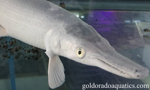 Image of the front body of a platinum gar fish in an aquarium at Shizuoka, Japan. A rare color mutation of the alligator gar showing a pure white metallic body in addition to its distinctive crocodilian-like snout.