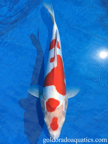 Image of a Kohaku koi fish. A fish consisting of a white base with red patterns and scaleless skin.