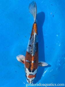 Image of a Kin Kikokuryu koi fish. A metallic scaleless tri colored koi fish consisting of red, black, and white.