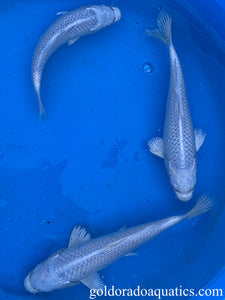 Image of a Platinum Ogon koi fish. A pure white metallic koi fish.