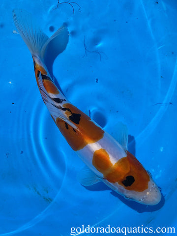 Image of a high grade Taisho Sanshoku koi fish. A scaleless tri colored koi fish consisting of red, black, and white.