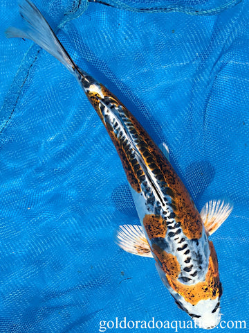 Image of a Kin Kikokuryu koi fish. A metallic scaleless tri colored koi fish consisting of gold, black, and white.
