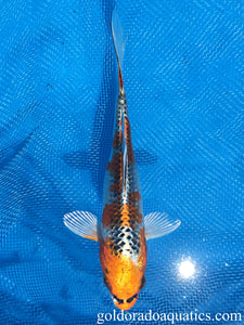 Image of a Kujaku koi fish. A fish with a white base and gold patterns with reticulated black scales.