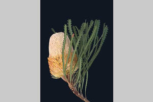 Banksia by Annabelle Lambie