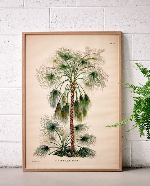 Livistona Palm 1 Large