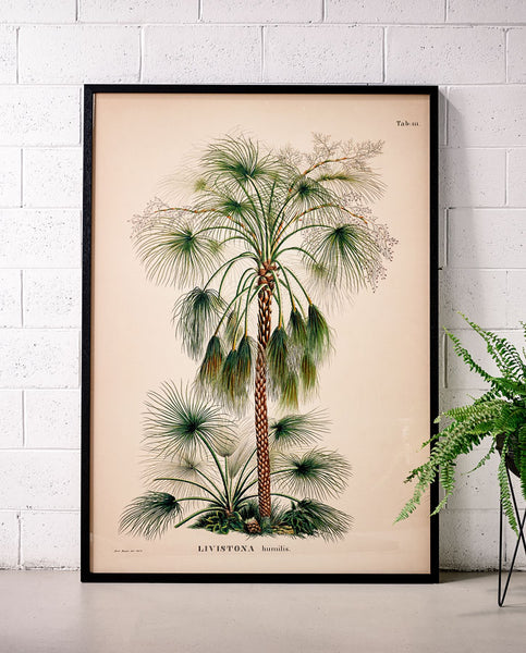 Livistona Palm 1 Medium