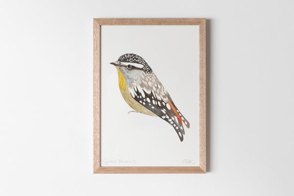 Spotted Pardalote Fine Art Print