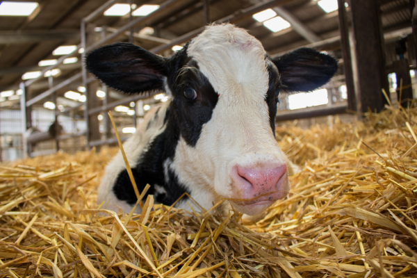 Caring for Newborn Calves