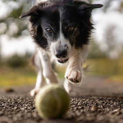 border collie dog chasing tennis ball