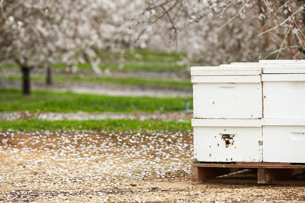 When a Honey Bee & an Almond Blossom Meet, Magic Happens