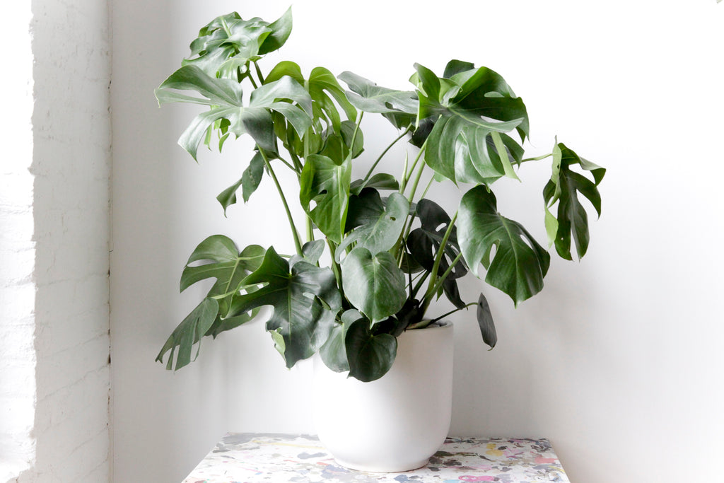 "10"" Potted Monstera Deliciosa"
