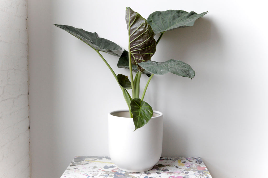 "10"" Potted Alocasia Regal Shield"