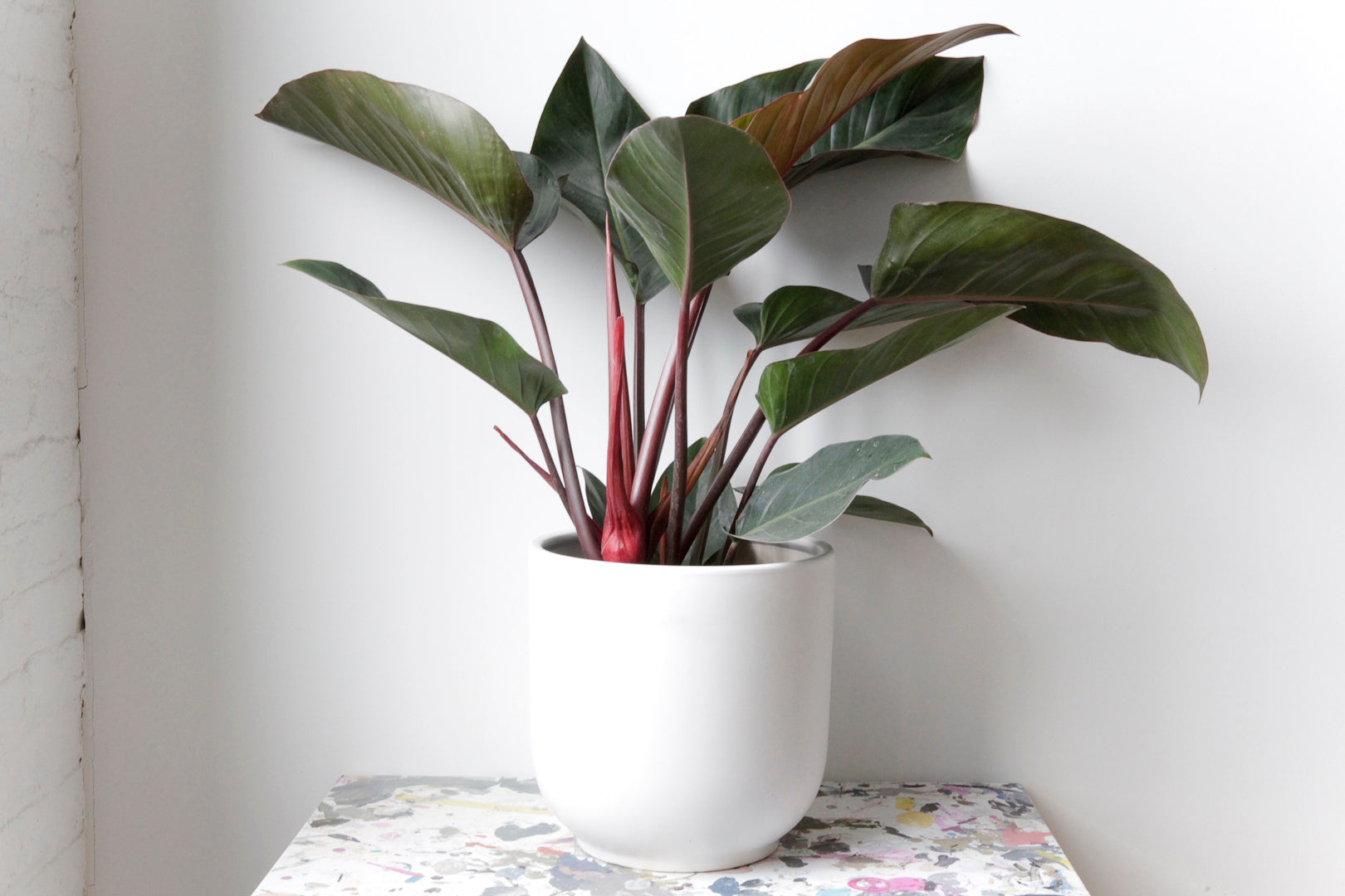 "10"" Potted Congo Rojo Philodendron"
