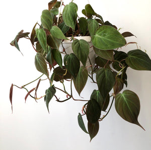 Philodendron Micans (Hederaceum or Bronze Velvet), 6""