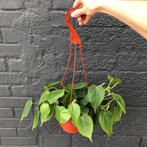 "6"" Philodendron hederaceum (Heartleaf Philodendron) - Hanging Basket"