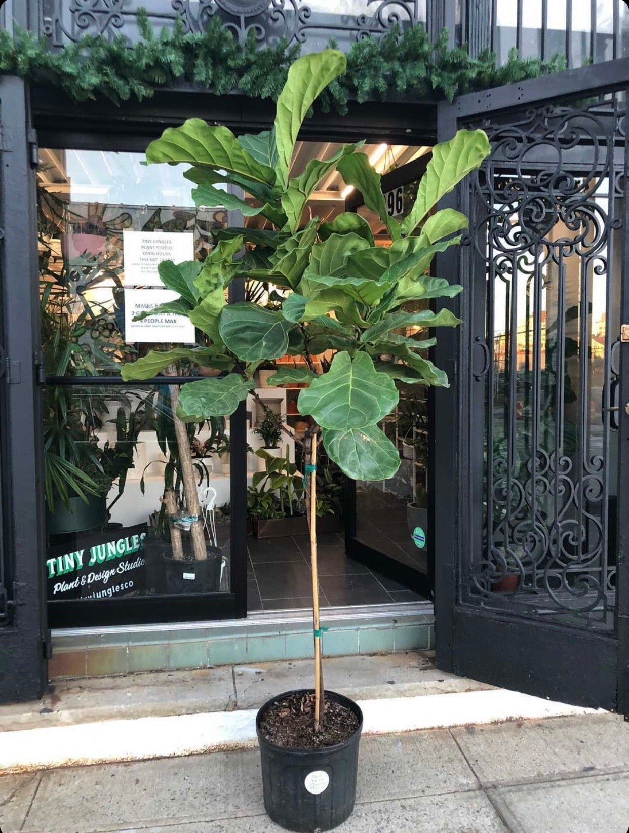 "14"" Ficus lyrata tree (Fiddle Leaf Fig tree), ~6.5' tall"