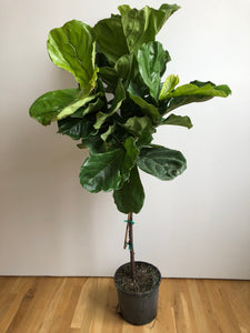 "10"" Fiddle Leaf Fig tree"