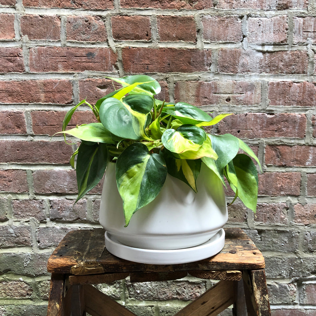"6"" Brasil Philodendron in Shallow Ceramic Planter"