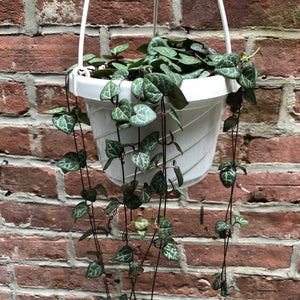 "6"" String of Hearts Hanging Basket"
