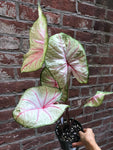 "5"" Caladium 'Summer Breeze'"