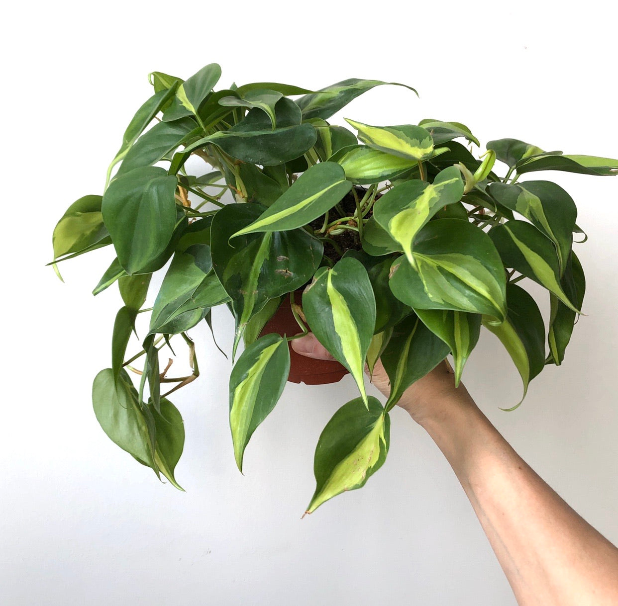 Brasil Philodendron, 6""