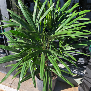 "10"" Rhapis Palm ('Lady Palm')"