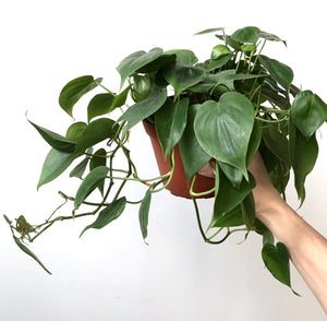 Heartleaf Philodendron, 6""