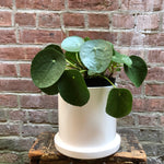 "6"" Pilea Peperomioides in Cylindrical Ceramic Planter"
