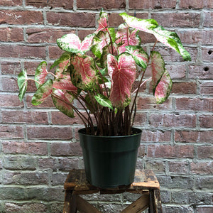 Caladium 'Creamsicle'