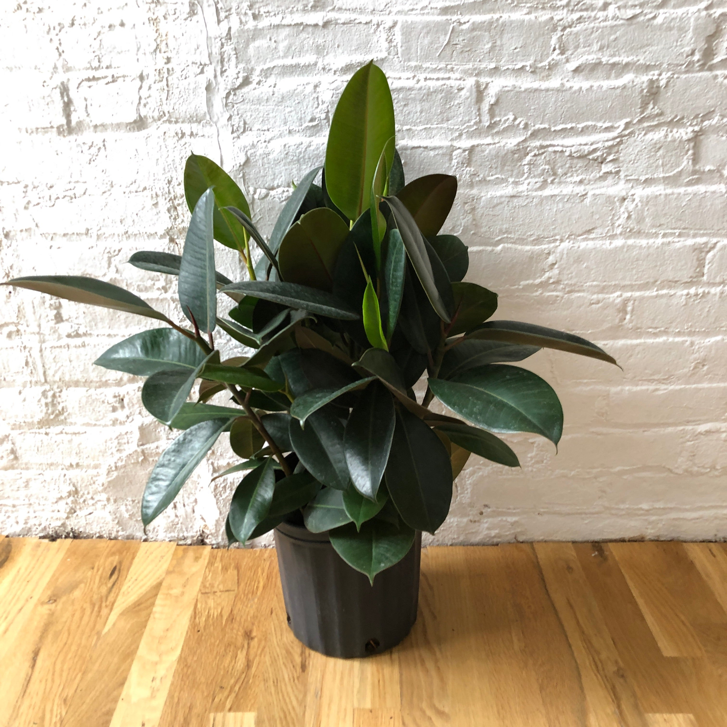 "8"" Green Rubber Plant"