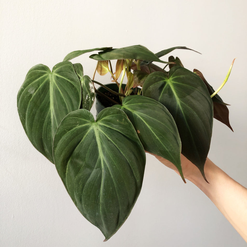 "4"" Philodendron Micans (Hederaceum/Bronze Velvet)"