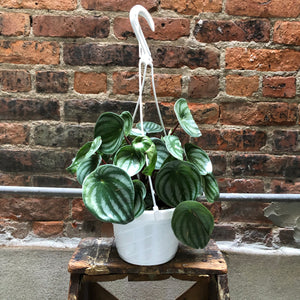 "6"" Watermelon Peperomia (Hanging Basket)"