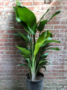"Bird of Paradise, 10"" (4-5' tall)"