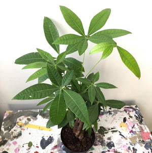 Money Tree (Pachira Aquatica), 4""