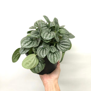 "6"" Peperomia 'Frost'"