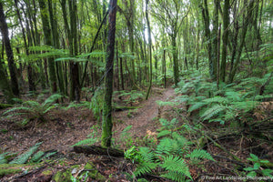 A track through the native bush, Rotokakahi / Green Lake