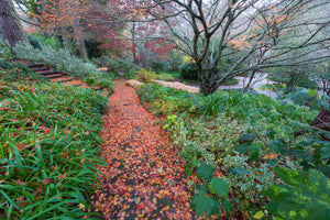 Japanese Maple covered path, Scarlet Oak, Pavilion Hill Golden Border, Eastwoodhill Arboretum