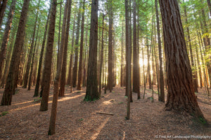 Redwoods backlit by the afternoon sun, Redwoods, Whakarewarewa