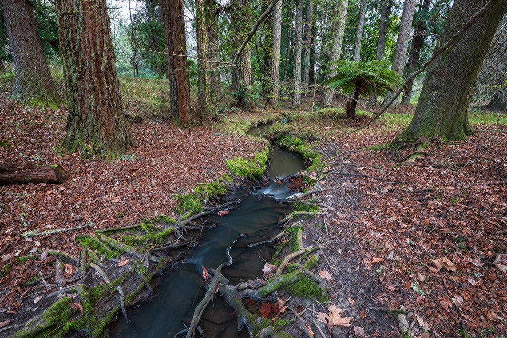 Stream running through the Coastal Redwoods, Daffodil Patch