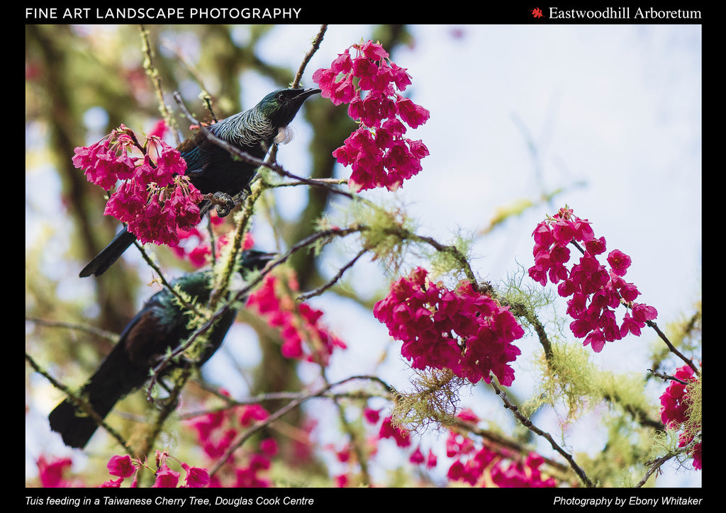 Tuis feeding in a Taiwanese Cherry Tree, Douglas Cook Centre