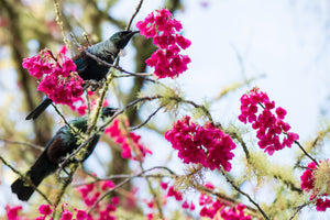 Tui's feeding in a Taiwanese Cherry Tree, Douglas Cook Centre