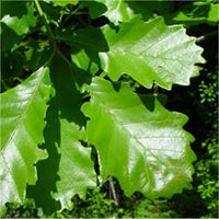 Swamp Oak ( 10 Pack )