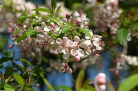 Wildlife Crabapple ( 10 Pack )