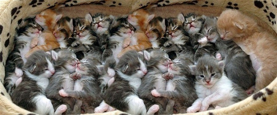 How Many Kittens Can A Cat Have Cat Cave Co