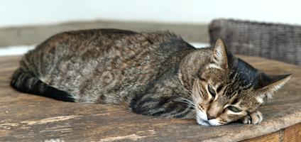 5 Signs of a Cat in Pain