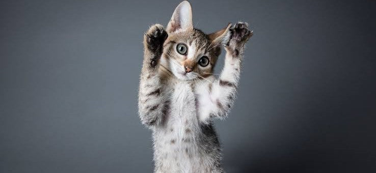 Why Cats Stand Up on Their Hind Legs?