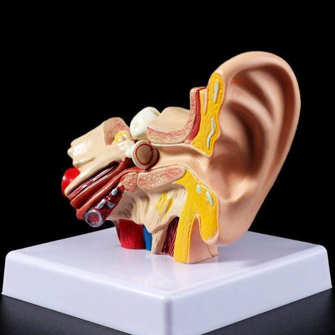 Staulino Human Ear Anatomy Model 1.5 Times Life Size Human Ear Anatomy Model 1.5 Times Life Size